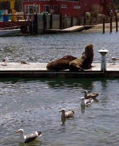 Resident sealions at Fort Bragg harbor.