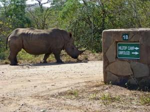 White rhino at Hluhluwe